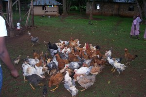 isaac-chickens-100_2776