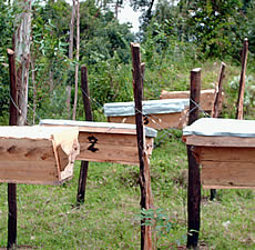 Bee hives Lily set up in her village of Bomet